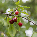 Twig of cherry tree with fruits - HLF000616
