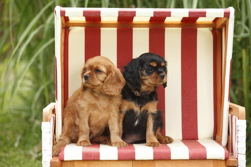 Two Cavalier King Charles spaniel puppies sitting in a hooded beach chair - HTF000472