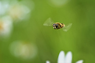Flying hoverfly, Eristalix pertenax - MJOF000550