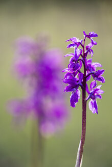 Germany, Hesse, Nature park Meissner, Early Purple Orchid, Orchis mascula - SRF000619