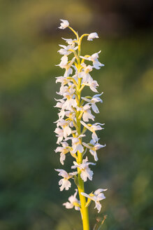 Germany, Hesse, Nature park Meissner, Early Purple Orchid, Orchis mascula - SRF000620