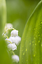 Germany, Fuldabruck, Lily of the Valley, close up - SRF000622