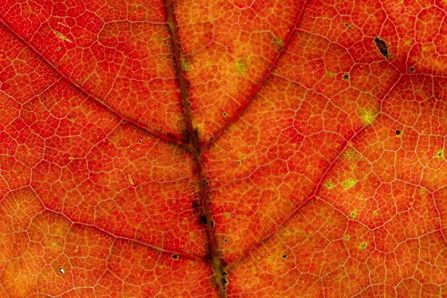 Red Norway maple leaf, Acer platanoides, partial view - SRF000639