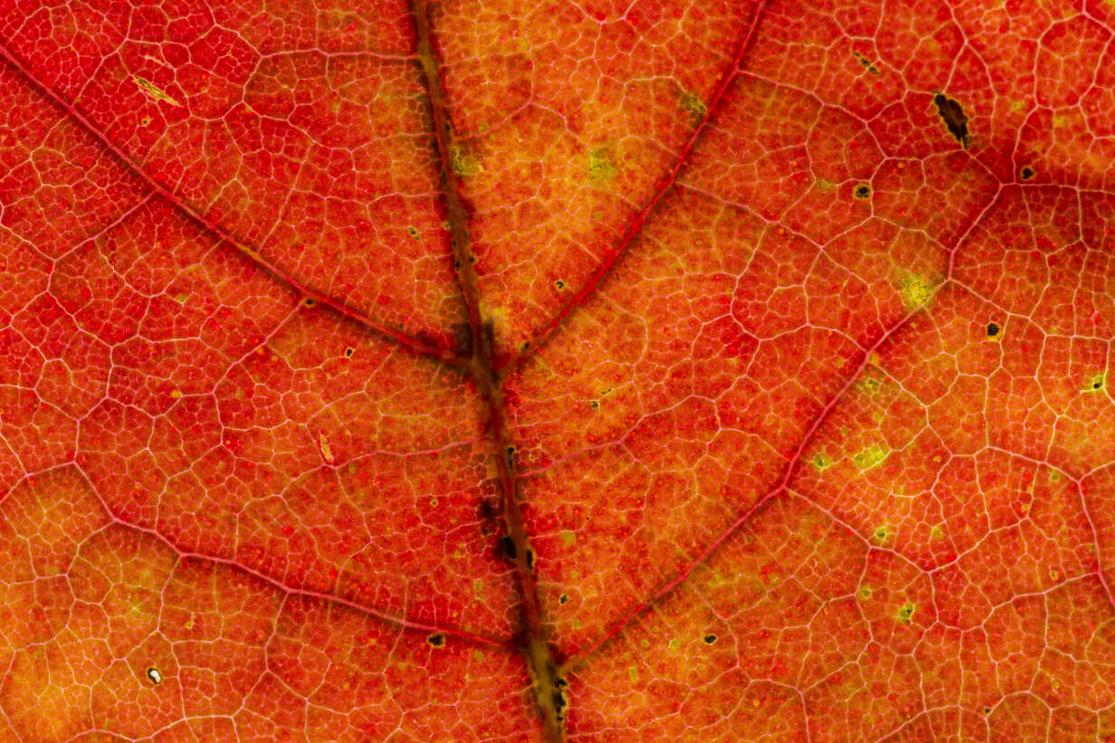 Red Norway maple leaf, Acer platanoides, partial view - SRF000639 - Stephan Rech/Westend61