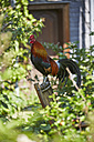 Germany, Hesse, Stedebach, crowing Italian cock on back rest of a chair in the garden - AKF000402