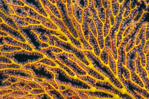Oceania, Palau, sea fan, partial view - JWAF000148