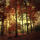 Beech forest in autumn colours - DWI000117