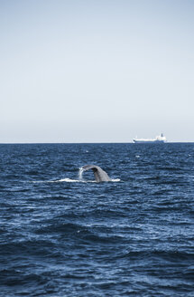 Spain, Andalusia, Tarifa, Sperm whale, Physeter macrocephalus, Cargo ship in the background - KBF000064