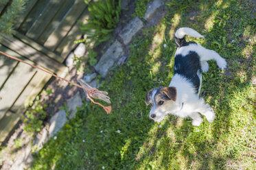 Jack Russel Terrier puppy in garden - MJF001309