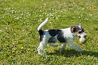 Jack Russel Terrier puppy in garden - MJF001323