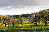 Germany, Bavaria, Happurg, Schupf, rape field and trees - LB000791