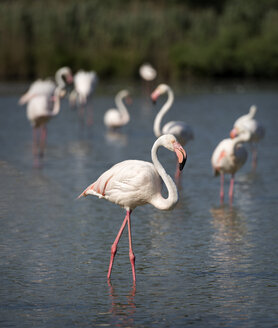 France, Camargue, greater flamingos in water - MKFF000018