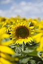 Sunflower field, Helianthus annuus, partial view - ELF001175