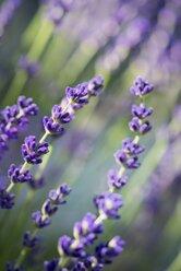 Blossoms of lavender, Lavendula - ELF001178