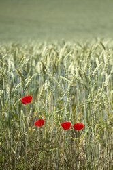 Four poppies, Papaver, in front of a wheat field, Triticum aestivum - ELF001180