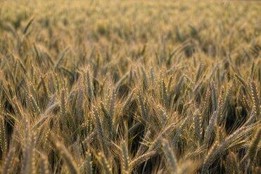 Barley field, Hordeum vulgare, at evening light - ELF001184