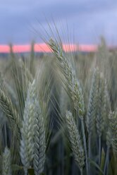 Germany,  Baden-Wuerttemberg, sunset with barley spikes in the foreground - ELF001186