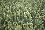 Spikes of a wheat field, Triticum aestivum - ELF001187