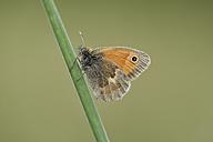 England, Small Heath, Coenonympha pamphilus - MJOF000579