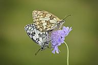 England, Marbled White, Melanargia galathea - MJOF000582