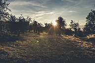 Italy, Tuscany, landscape at sunset with olive trees - SBDF001075