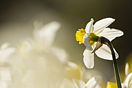 Daffodils, Narcissus, at sunlight - SRF000683