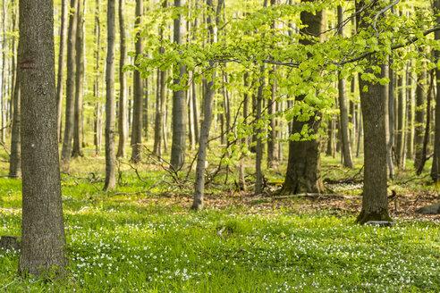 Germany, Hesse, Soehrewald, wood anemones, Anemone Nemorosa, growing under the trees - SRF000687