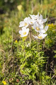 Snowdrop anemones, Anemone sylvestris - SRF000701