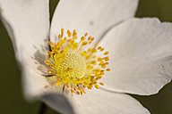 Blossom of snowdrop anemone, Anemone sylvestris, close-up - SRF000644