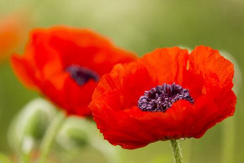 England, Oriental poppy, Papaver orientale - SRF000709