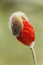 England, Oriental poppy, Papaver orientale, Blossom bud - SRF000711