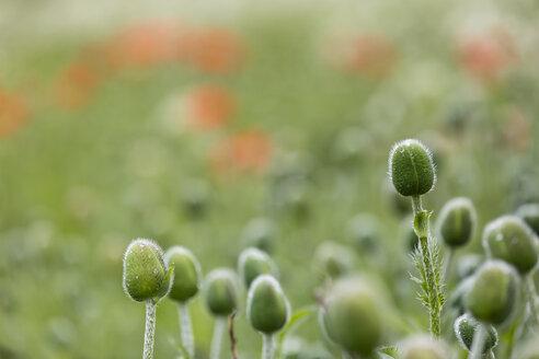 England, Oriental poppy, Papaver orientale, Blossom bud - SRF000719