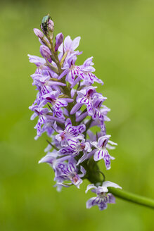 Germany, Hesse, Military orchid, Orchis militaris, Close-up - SRF000734