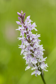 Germany, Hesse, Military orchid, Orchis militaris, Close-up - SRF000737