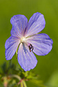 Germany, Hesse, Meadow cranesbill, Geranium pratense, Close-up - SRF000756