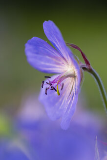 Germany, Hesse, Meadow cranesbill, Geranium pratense, Close-up - SRF000746