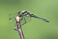 Black darter, Sympetrum danae, sitting on a twig in front of green background - MJOF000583