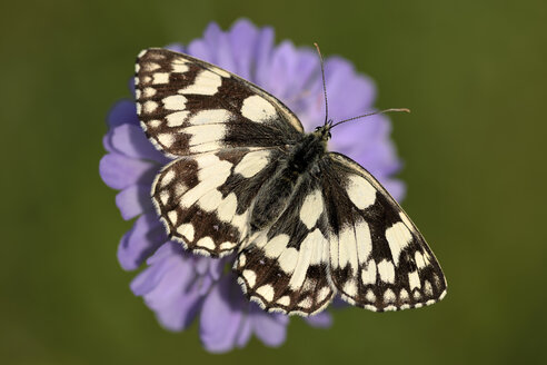 Marbled White, Melanargia galathea, sitting on a blossom, elevated view - MJOF000593
