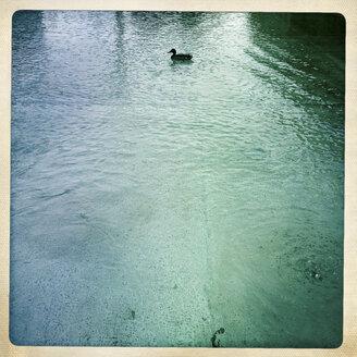 Duck in water - DISF000920