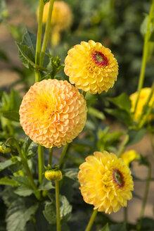 Blossoms and buds of yellow dahlia, Dahlia - SRF000677