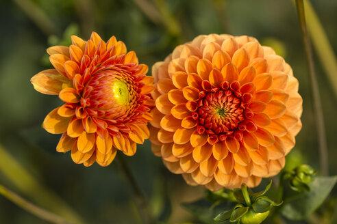 Two blossoms of orange dahlia, Dahlia - SRF000679