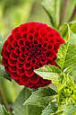 Blossom and leaves of red dahlia, Dahlia, at sunlight - SRF000653