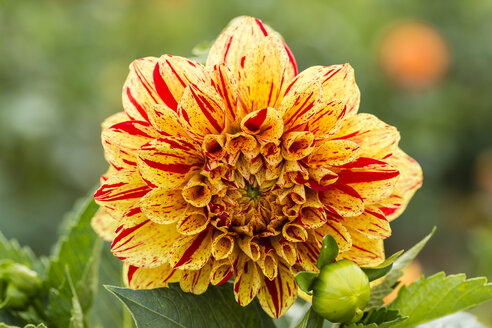Blossom and bud of yellow and red dahlia, Dahlia - SRF000654