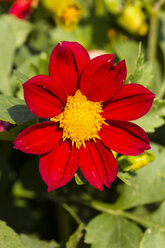 Blossom of red dahlia, Dahlia, at sunlight - SRF000658