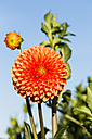 Blossom and bud of orange dahlia, Dahlia, at sunlight in front of blue sky - SRF000666