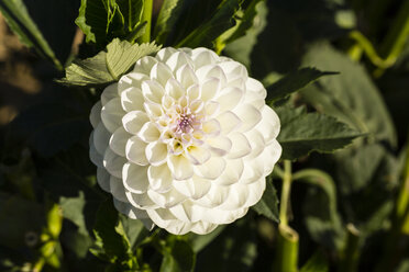 Blossom and leaves of white dahlia, Dahlia, at sunlight - SRF000668