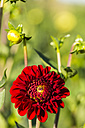 Blossom and buds of red dahlia, Dahlia, at sunlight - SRF000670