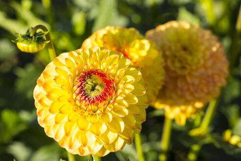 Blossoms and bud of yellow dahlias, Dahlia, at sunlight - SRF000671