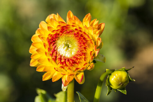 Blossom and bud of orange dahlia, Dahlia, at sunlight - SRF000673