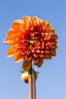 Blossom of orange dahlia, Dahlia, in front of blue sky - SRF000675